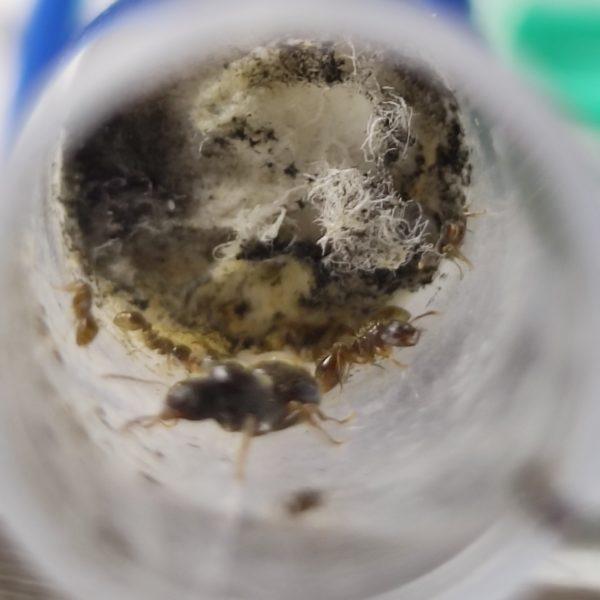 tetramorium caespitum mit parasitären strongylognathus testaceus