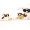 Camponotus pseudoirritans