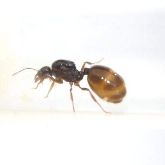 Aphaenogaster dulcinea